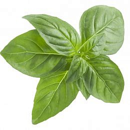 Top view of basil leaf isolated on white background