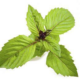 basilicum 'Cinnamon'